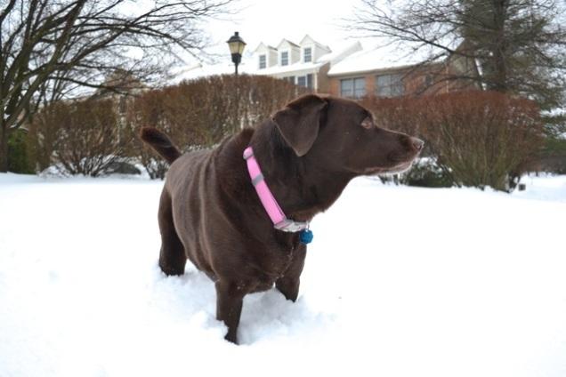 labrador snow
